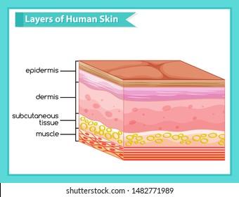 Scientific medical illustration of human skin layers illustration