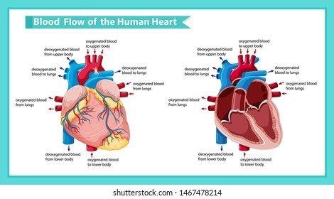 Scientific medical illustration ofblood flow through heart illustration