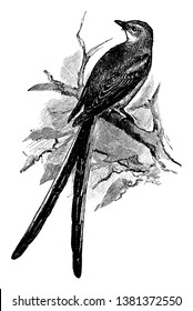 Scissortailed Flycatcher is a tyrant flycatcher in the Tyrannidae family, vintage line drawing or engraving illustration.