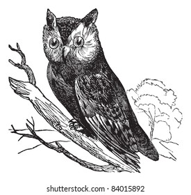 Scops of America (Scops asio) or American owl, vintage engraved illustration.Trousset encyclopedia (1886 - 1891).