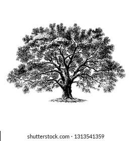 Scratch board illustration of tree.
