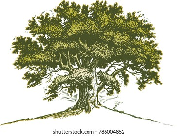 Scratchboard illustration of old oak tree