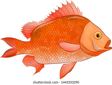 sea bass funny orange vector