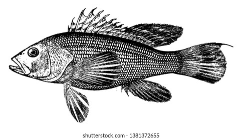 Sea Bass has a white flaky flesh and weighs from 1 to 3 pounds, vintage line drawing or engraving illustration.