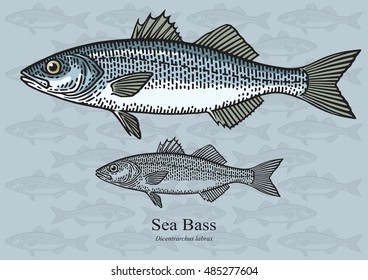 Sea Bass. Vector illustration with refined details and optimized stroke that allows the image to be used in small sizes (in packaging design, decoration, educational graphics, etc.)