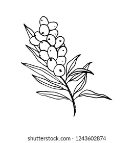 Sea buckthorn branch hand drawn vector illustration. Seaberry twig ink pen sketch. Black and white doodle clipart. Hippophae with berries and leaves freehand drawing. Isolated outline design element