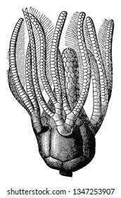 Sea lily, any crinoid marine invertebrate animal. The sea lily stalk is surmounted by a bulbous body, vintage line drawing or engraving illustration.