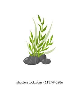 Sea plants and aquatic marine algae. Seaweed vector illustration isolated on white