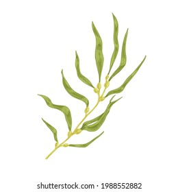 Sea Sargassum alga or Brown macroalgae. Edible seaweed with leaves and bladders. Natural underwater plant. Realistic drawn vector botanical illustration of macrocystis isolated on white background