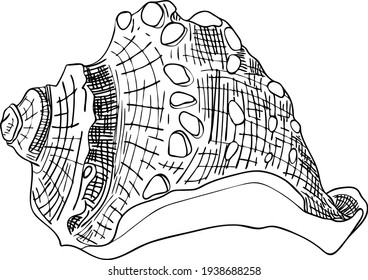 Sea shell vector outline illustration isolated. Hand drawing sketch conch.  Gastropod shell design element.
