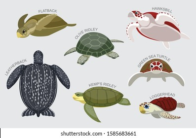 Sea Turtle Set Various Kind Identify Cartoon Vector-01