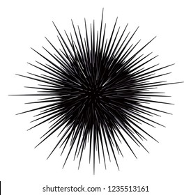 Sea urchin isolated on the white background