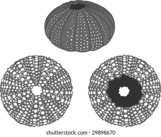 Sea urchin vector