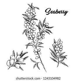 Seaberry branches hand drawn vector illustration. Hippophae twigs ink pen sketch. Black and white clipart. Sea buckthorn outline drawing. Seaberry cliparts set with lettering. Isolated design elements