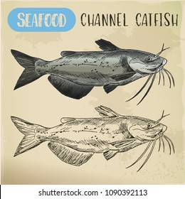 Seafood channel catfish of aquaculture sketch. Hand drawn ocean or sea, river fish for shop or store signboard, restaurant menu. Underwater wildlife and nautical, marine and fishing theme