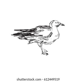 Seagull Hand Drawing Vector illustration