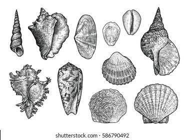 Seashell collection, engraving, illustration, drawing collection, vector