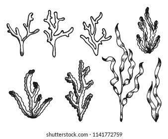 seaweed sketch vintage isolated on white background