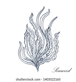 seaweed. vector illustration isolated on white background. hand drawing.