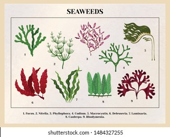 Seaweeds collection botanical educative chart poster tutorial with red brown green algae species background retro vector illustration