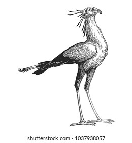Secretary bird. Zoo. Hand drawn illustration for tattoo design, emblem, badge, t-shirt print. Engraving of wild animal. Classic vintage style image.