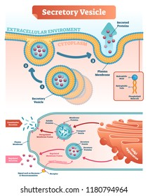 Secretory vesicle vector illustration. Labeled closeup infographic scheme with constitutive and regulated secretion. Diagram with golgi apparatus and secreted proteins.