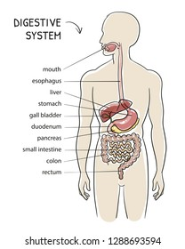 Section view of a human body with digestive system. Medical info graphics isolated body. Hand drawn cartoon sketch vector illustration, marker style coloring.