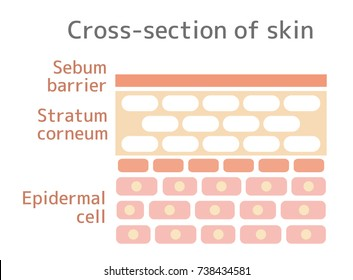 Sectional view illustration of the skin. With text.