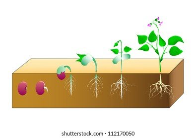 Seed germination beans. Vector