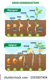 Seed germination cross section vector illustration in stages. Hypogeal and epigeal types. Plant gardening information.