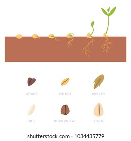Seed germination and grains: buckwheat, wheat, oats, grapes, rice and barley. Vector set of flat icons isolated on white background.