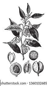 The seed of nutmeg tree known as Myristica Fragrans  vintage line drawing or engraving