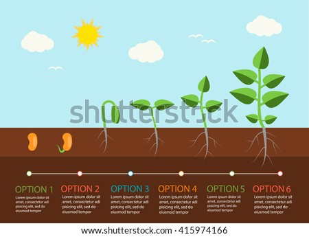 seedlings growing infographics plants grow stages stock vector