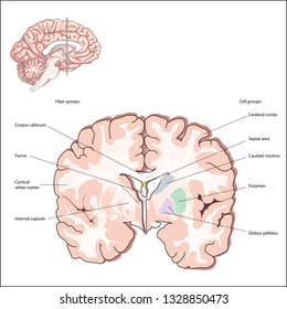 Selected Cell and Fiber Groups. structures of the forebrain. Collectively, these structures are called the basal ganglia and are an important part of the brain systems that control movement