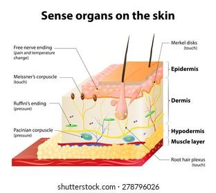 Sense organs on the skin. Skin layers and principal cutaneous receptors