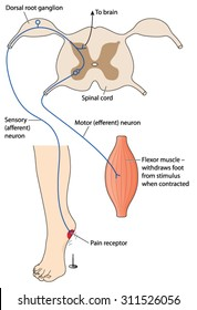 Sensory nerve message from pain stimulus crossing spinal cord to motor neuron to effect the pain reflex