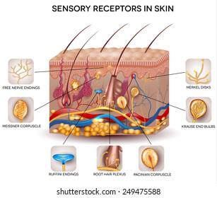 Sensory receptors in the skin. Detailed skin anatomy, beautiful bright colors.