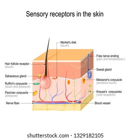 sensory receptors in the skin. Pressure, vibration, temperature, pain and itching are transmitted via special receptory organs and nerves. illustration for biological, science, medical, education use