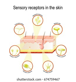 Sensory receptors in the skin. Pressure, vibration, temperature, pain and itching are transmitted via special receptory organs and nerves