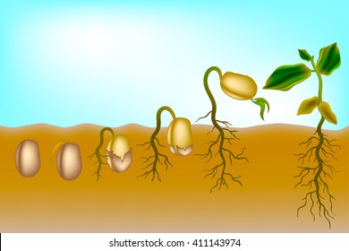Sequence of seed germination. The growth of the seeds