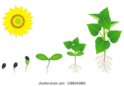 Sequence of a sunflower plant growing isolated on white.