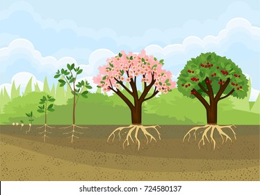 Sequential stages of tree growth from seed to tree with fruits. Life cycle of a cherry tree