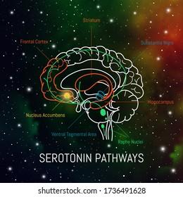 Serotonin pathways in the brain. Neuroscience medical infographic. Striatum, substantia nigra, hippocampus, ventral tegmental area and nucleus accumbens.