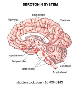 Serotonin system. The diffuse modulatory systems implicated in affective disorders. anatomy of the Central nervous system. human brain