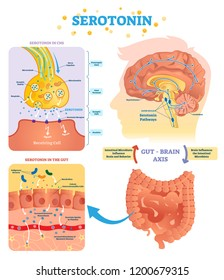 Serotonin vector illustration. Labeled diagram with gut brain axis and CNS. Intestinal microbiota influence brain behavior and intestinal cycle. Educational infographic.