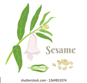 Sesame plant isolated on white background. Sesame branch with green leaves, flower, pod and seeds. Vector illustration in cartoon simple flat style.