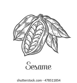 Sesame seed, nuts plant, natural organic butter ingredient. Hand drawn vector sketch engraved illustration. Sesame isolated on white. Treatment, care, food ingredient