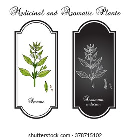 Sesame (Sesamum orientale). Botanical hand-drawn vector illustration