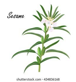 Sesame (Sesamum orientale, til). Hand drawn vector illustration of sesame herb with flowers on white background.