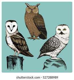 set of 3 different realistic hand drawn owls, typo alba, asio otus, bubo scandinacus, white owl, barn, long-eared
